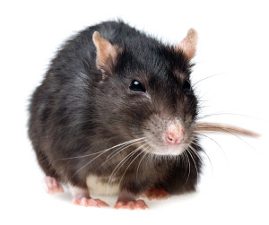 How association board members can deal with rat infestations